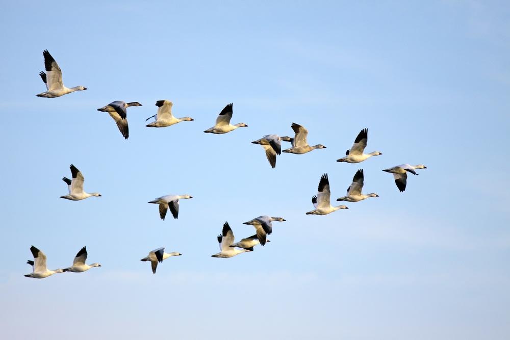 Image result for migrating